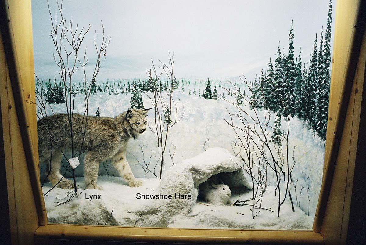Lynx, Snowshoe & Hare